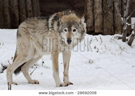 Dark Grey Wolf In Winter