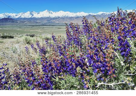 Blooming Spring Flowers, View On Sierra Nevada Mountains And Mount Whitney, California, Usa
