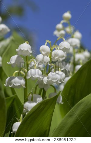 Lily Of The Valley. Blooming Lily Of The Valley In The Summer Garden