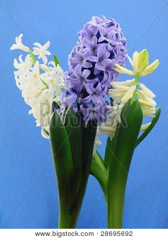 white and lila hyacinths on blue background