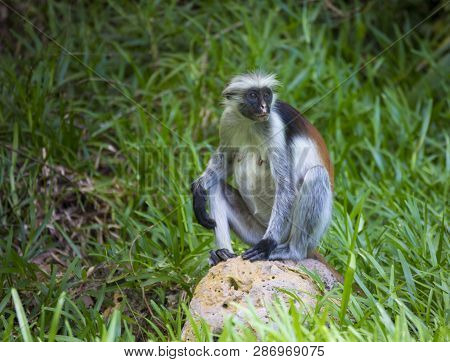 Monkey Red Colobus On The Background Of Green Grass  In A Natural Environment. Jozani Chwaka Bay Nat