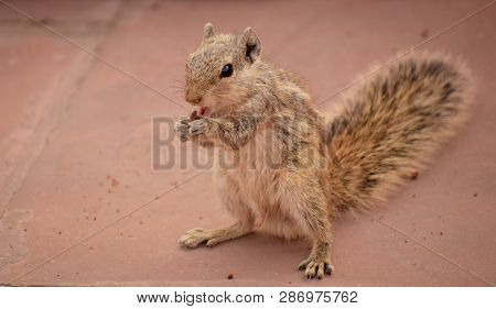 Squirrel- A Close-up Image Of A Squirrel Eating A Small Piece Of Chocolate Cake.