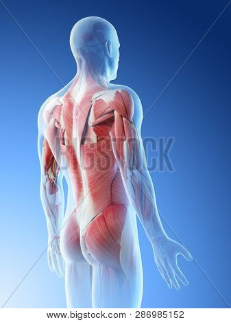 3d rendered illustration of a mans muscles of the back