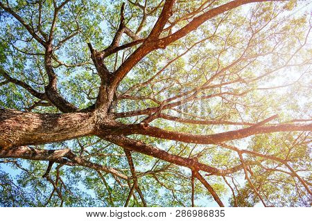 Looking Up On Tree / View Under Tree Of  Samanca Saman