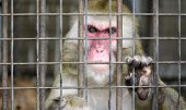 monkey in a cage with sad eyes poster