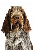 spinone italiano puppy with serious expression really cute poster