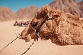 Tired and exhausted camel walking in Sinai desert. Exploitation of animals poster