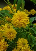 Goldquelle Coneflower, Tall late summer perennial herb with deeply cut leaves and bright yellow double flower heads on sturdy stems. poster
