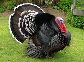Large male turkey in natural surroundings displaying tail feathers poster