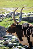 Profile of brahma bull with large horns taken at the Phoenix Zoo in Arizona poster