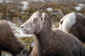Female ewe bighorn sheep relaxing in the wild, in Radium Hot Springs British Columbia. Sheep has mouth open poster