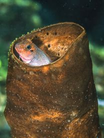 Ophioblennius Macclurei, The Redlip Blenny, Is A Species Of Combtooth Blenny