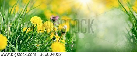 Dandelion Flower, Flowering Spring Flower In Meadow Lit By Sun Rays, Beatiful Nature In Spring