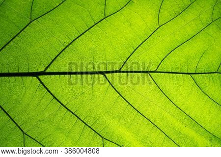 Closeup Of Natural Green Leaf Texture. Abstract Of Green Leaf Texture Pattern For Background.