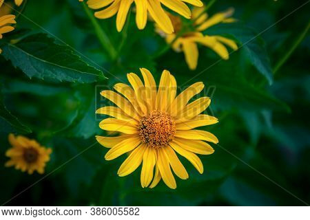 Close Up Beautiful Bright Yellow Heliopsis Helianthoides  Flowers Also Called Rough Oxeye Or False S