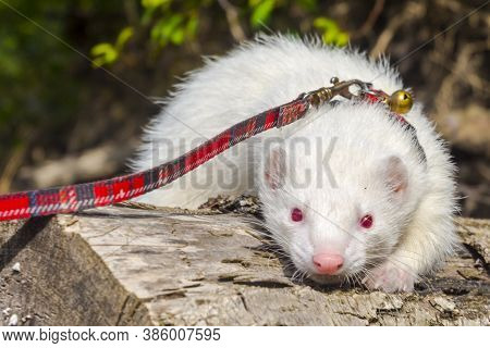 Albino Domestic Ferret With Leash And Collar On A Tree