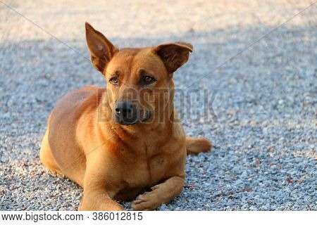 Orange Brown Dog Laying Down On The Gravel Floor At The Sunlight Of Morning. It Is A Domesticated Ca