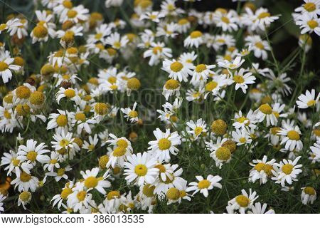 Field Of Daisies Camomiles At Sunlight. Natural Cute Background
