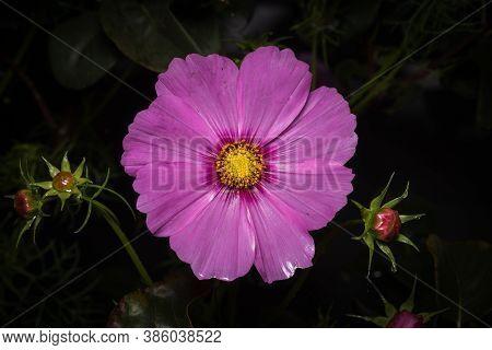 Cosmea Bipinnatus Cav, A Beautiful Blooming Flower On A Dark Background