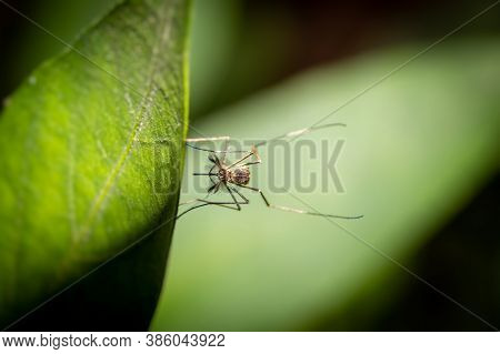 Macro Of Southern House Mosquito Or Culex Quinquefasciatus Mosquito Holding A Leaf