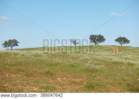 Alentejo Landscape With Olive Trees And Cork Oak Trees With White And Yellow Flowers In Portugal