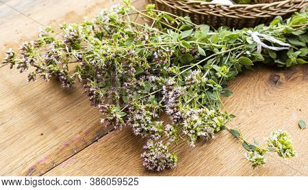A Bunch Of Freshly Picked Wild Oregano On A Wooden Table.