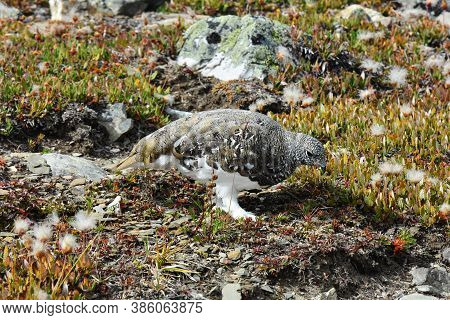 A Close Up Image Of A High Elevation Ptarmigan With Brown And White Plumage.