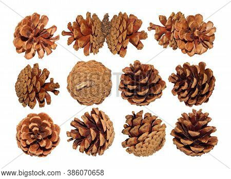 Pine Fir Cones Collection.big Set Of Isolated Christmas Fir Cones On White Background From Different