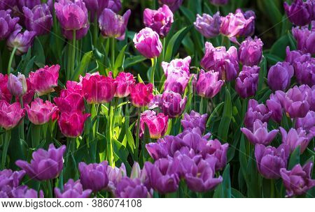 Pink Flowers Tulip Lit By Sunlight. Tulip Is A Pot Flower Plant, Cultivars Are Used As Ornamental Pl
