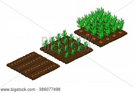 Stages Of Carrot Growth From Seed To Ripeness. Isometry. Isolated Beds On A White Background. Vector