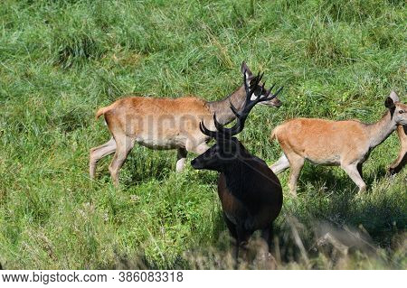 Red Deer With Antlers During Mating Season In A Herd With Their Hinds