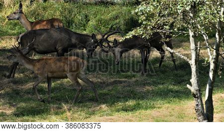 Two Deer With Antlers Fighting On A Meadow In A Rutting Time