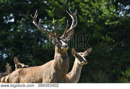 Silhouette Of A Red Deer On The Horizon Of The Meadow In The Backlight