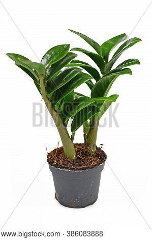 Tropical Houseplant Called'zamioculcas Zamiifolia Zenzi' Isolated On White Background