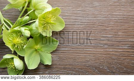 Background With Yellow Green Helleborus Viridis Or Christmas Rose On A Dark Brown Wooden Background