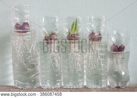 Planting Spring Onion By Shallot In A Plastic Water Bottle.