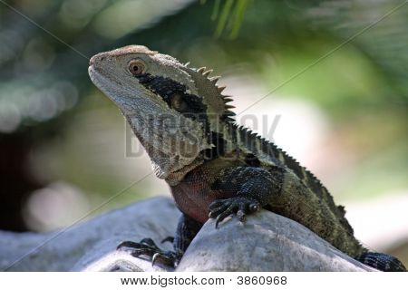 Australian Bearded Dragon Lizard - Close Up