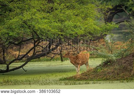 Spotted Or Chital Or Cheetal Or Chital Deer Or Axis Axis In Natural Green Background At Keoladeo Nat