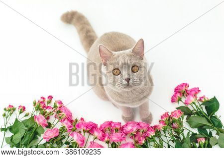 Scottish Cat Looking At Camera And Roses Flowers On White. Scottish Cat And Flowers