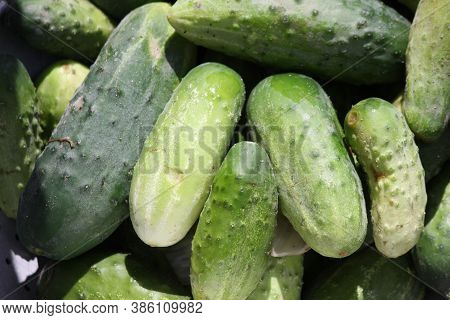 A Lot Of Ripe Cucumbers, Shot Close-up On A Clear Sunny Day. Can Be Used As A Background Or Wallpape