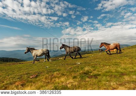 Horses And Foals In The Mountains, Central Balkan National Park In Bulgaria, Stara Planina. Beautifu