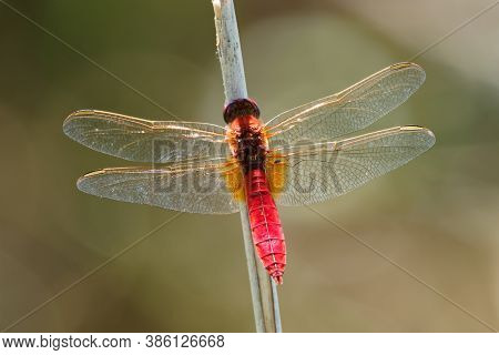 Scarlet Dragonfly Crocothemis Erythraea - Red Coloured Species Of Dragonfly In The Family Libellulid