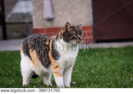 Proud Cat Stands In The Middle Of The Garden And Acts Like The King Of The Jungle. Feline Full Of Pr