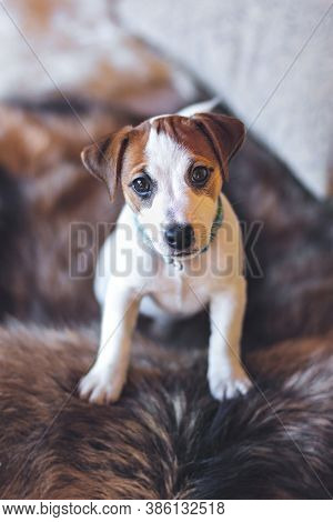 Jack Russell Terrier Puppy Stands With Its Paws On The Furry Back Of The Couch And Looks At Camera.