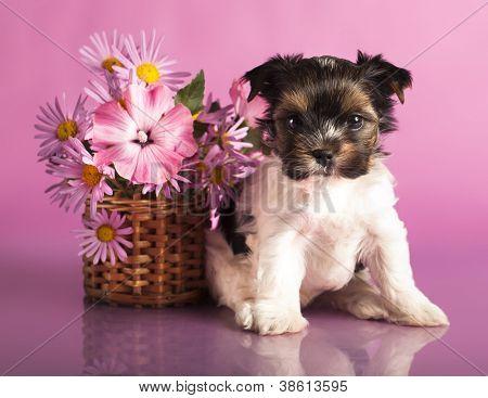 Biewer terrier puppy