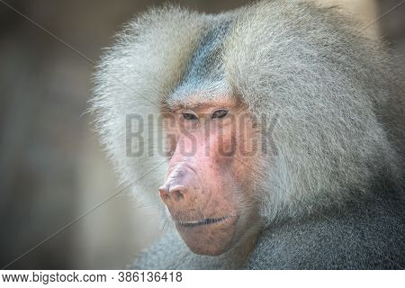 Papio Hamadryas Or The Baboon Roars With Its Mouth Open