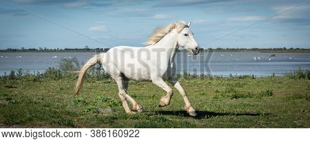 Camargue, France, April 27 2019 : White Horses And Two Guardians Are Walking In The Water All Over I