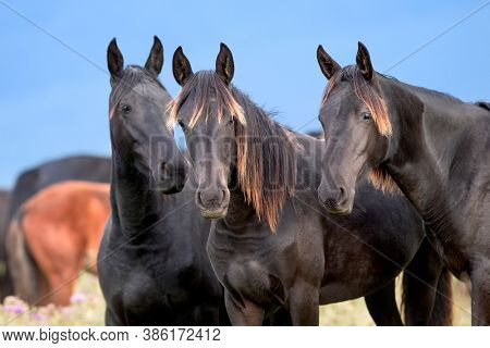 Three wild black horses standing close up in the field. Group of wild young colts standing outdoors in the meadow in autumn.