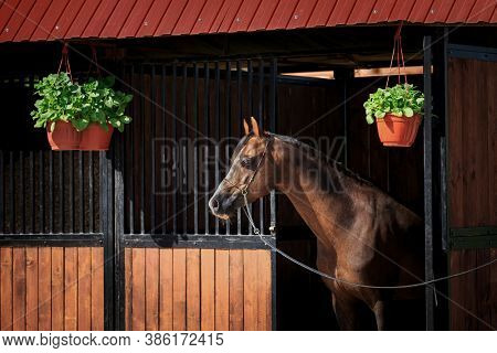 The bay horse stands at the exit of the stall outdoors. Welsh pony head in bridle looks out from the stable in summertime.