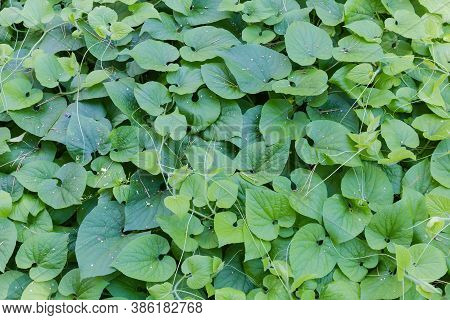 Top View Of The Climbing Plants With Green Leaves And Tendrils Growing And Creeping On The Ground, F